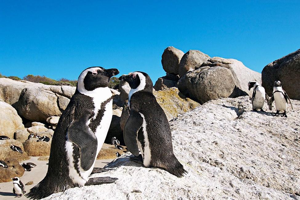 Pingviinejä Boulders Beachilla, Kapin niemimaalla